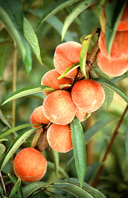 250px-Flameprince_peaches